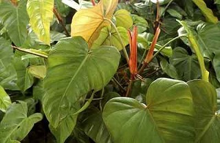 taro leaves image