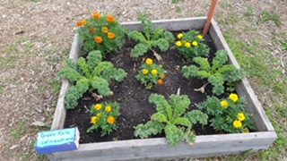 Green kale and marigolds