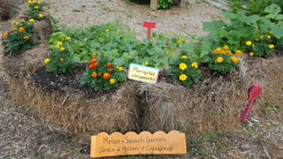Melon and squash garden in straw bales