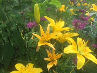 Yellow lillies and monarda