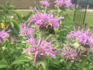bumble bee on bergamot flower