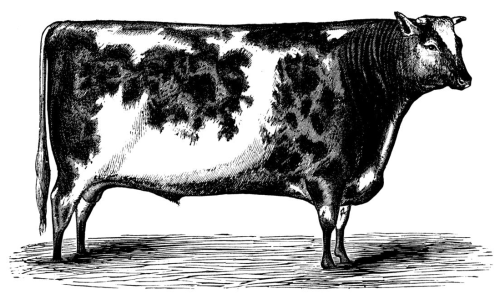 Image of a short-horn bull from Wikimedia Commons