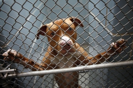 A pit bull dog stands up in the holding cage