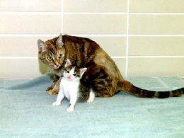 "The first-ever cloned cat, ""CC,"" is shown here at seven weeks old with Allie, her surrogate mother."