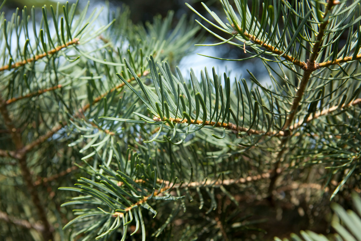 Soft needles of Abies concolor (white fir)
