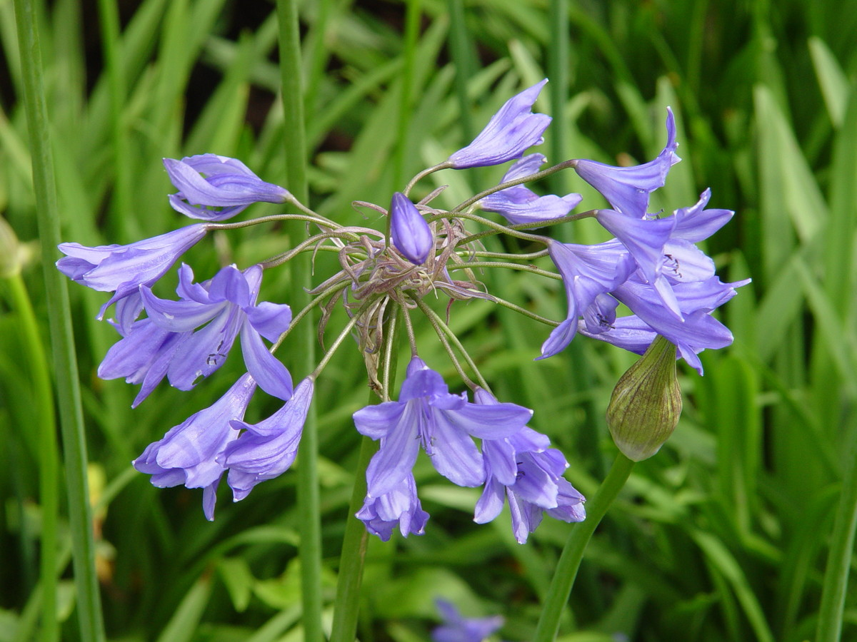 Agapanthus 'Midnight Blue' (African Lily)