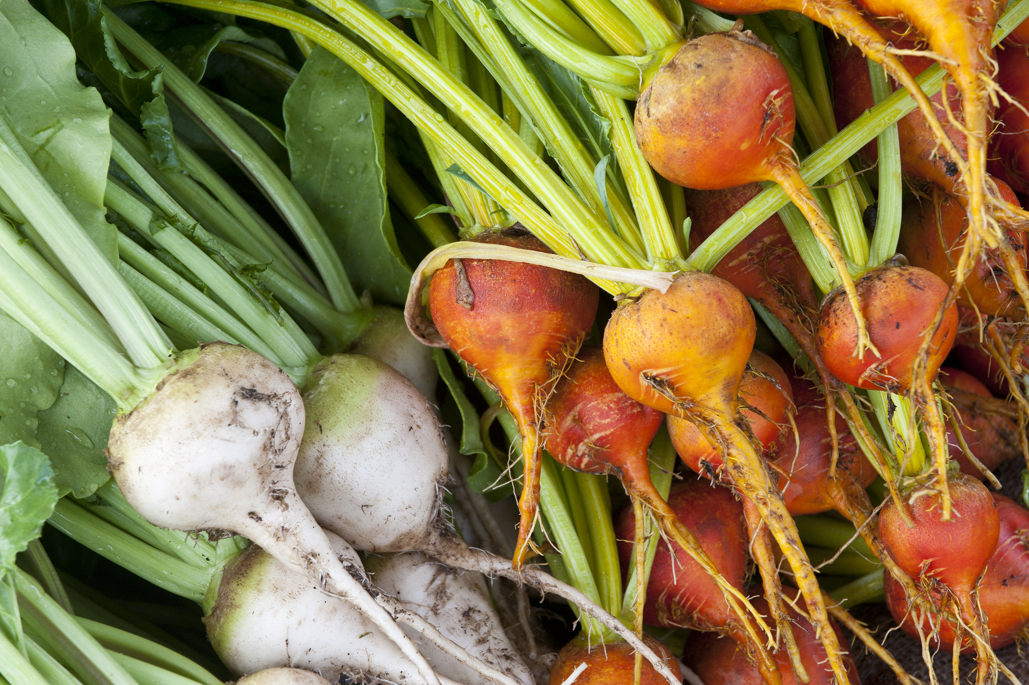 Garden beets; photo courtesy of Flickr cc/Oregon State University