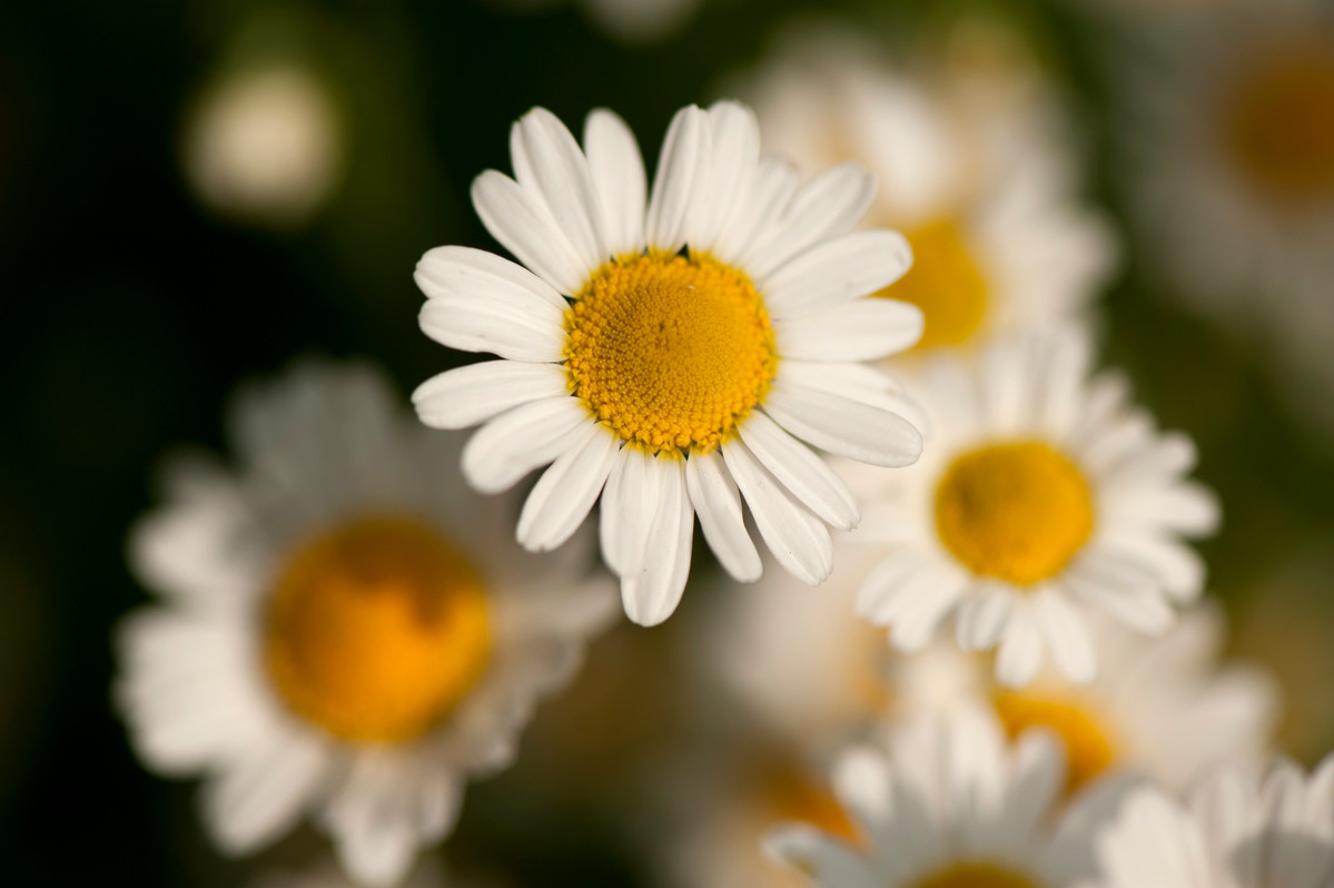 Roman chamomile (Chamaemelum nobile) in flower at NYBG; photo by Ivo Vermeulen