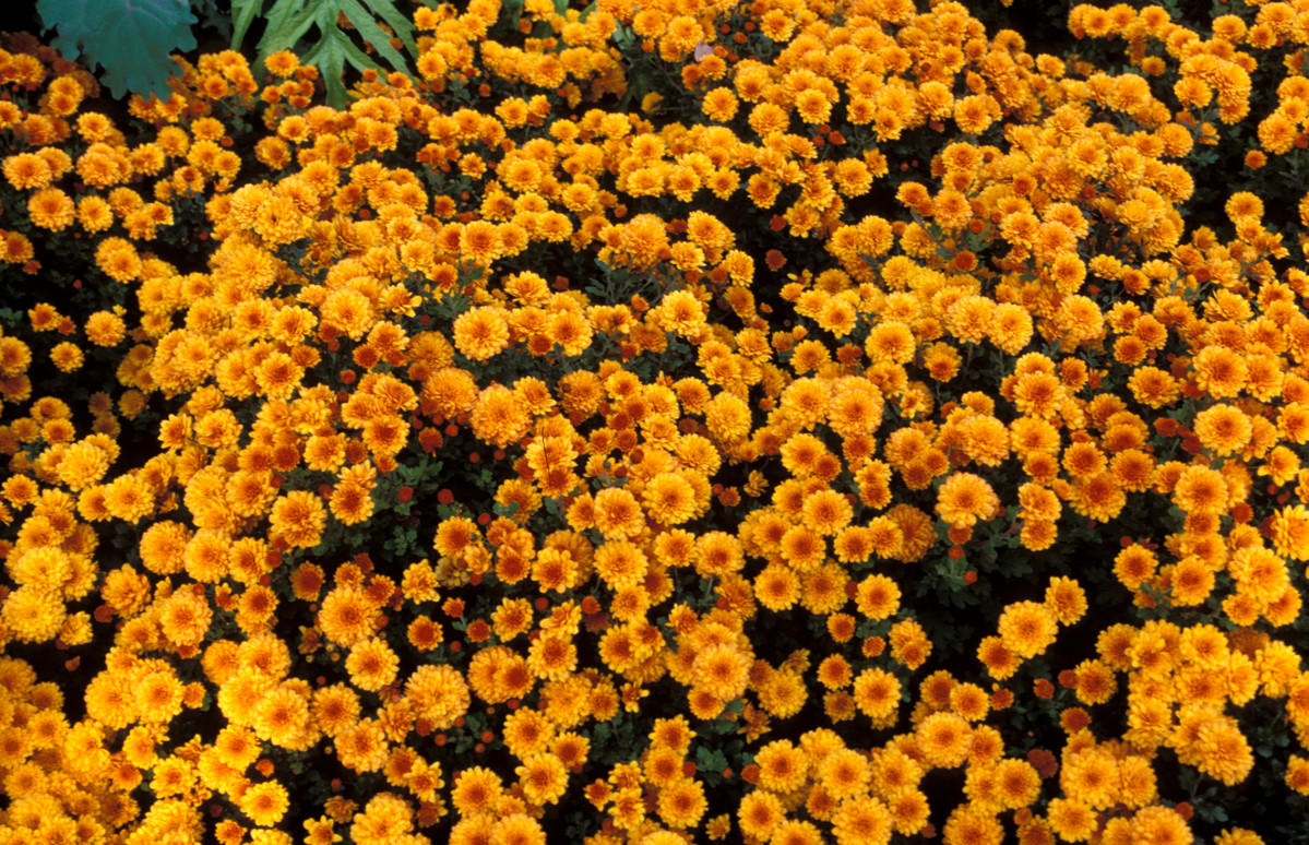 Chrysanthemums, like C. 'Luciane', are fall container favorites