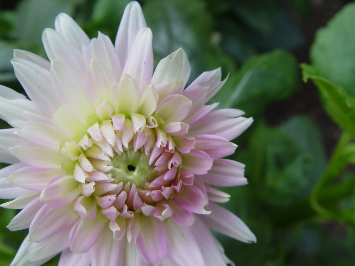 Dahlias should be carefully stored over the winter (Dahlia 'Sweet Dreams')