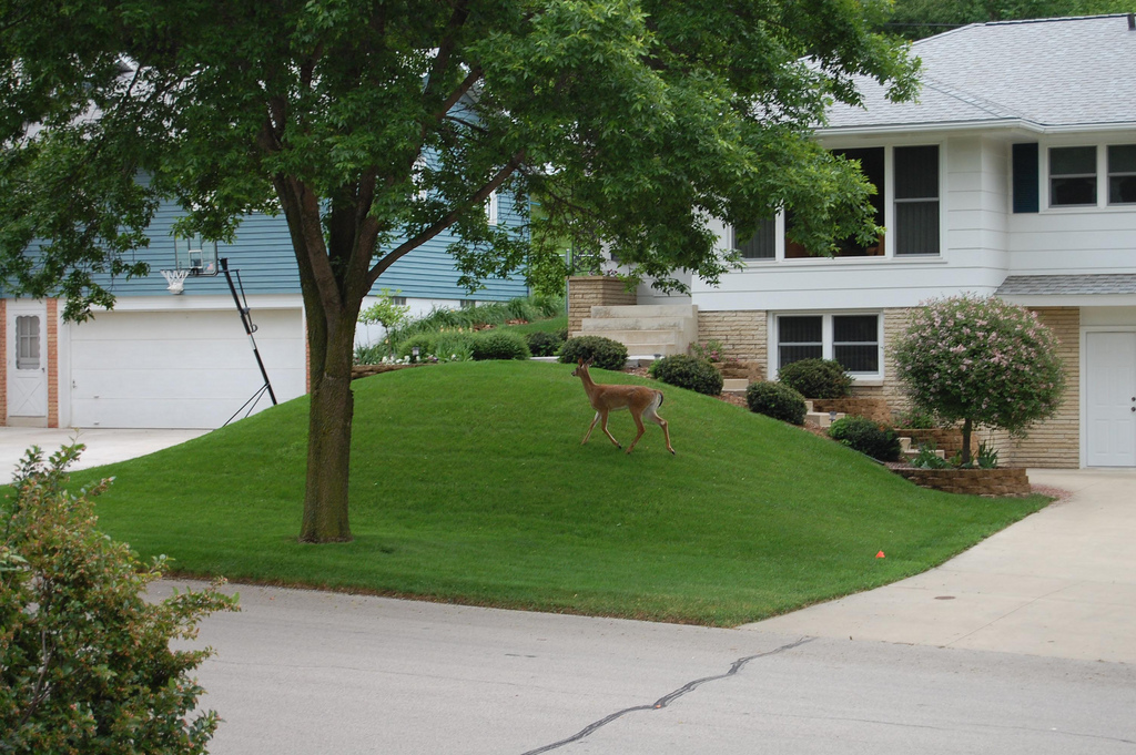 Photo of a deer in a suburban front yard; courtesy of Flickr cc/Ryan Claussen