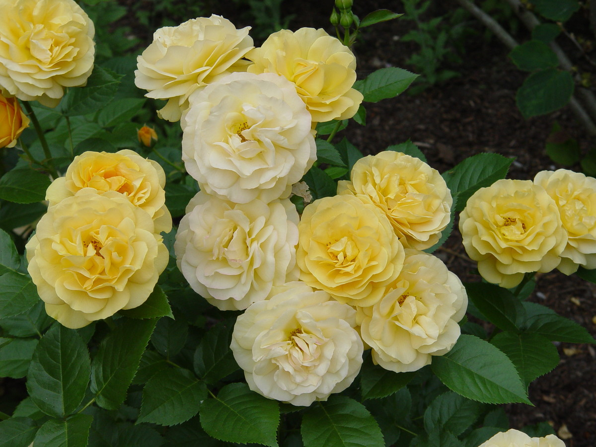 Photo of floribunda rose 'Julia Child' at NYBG