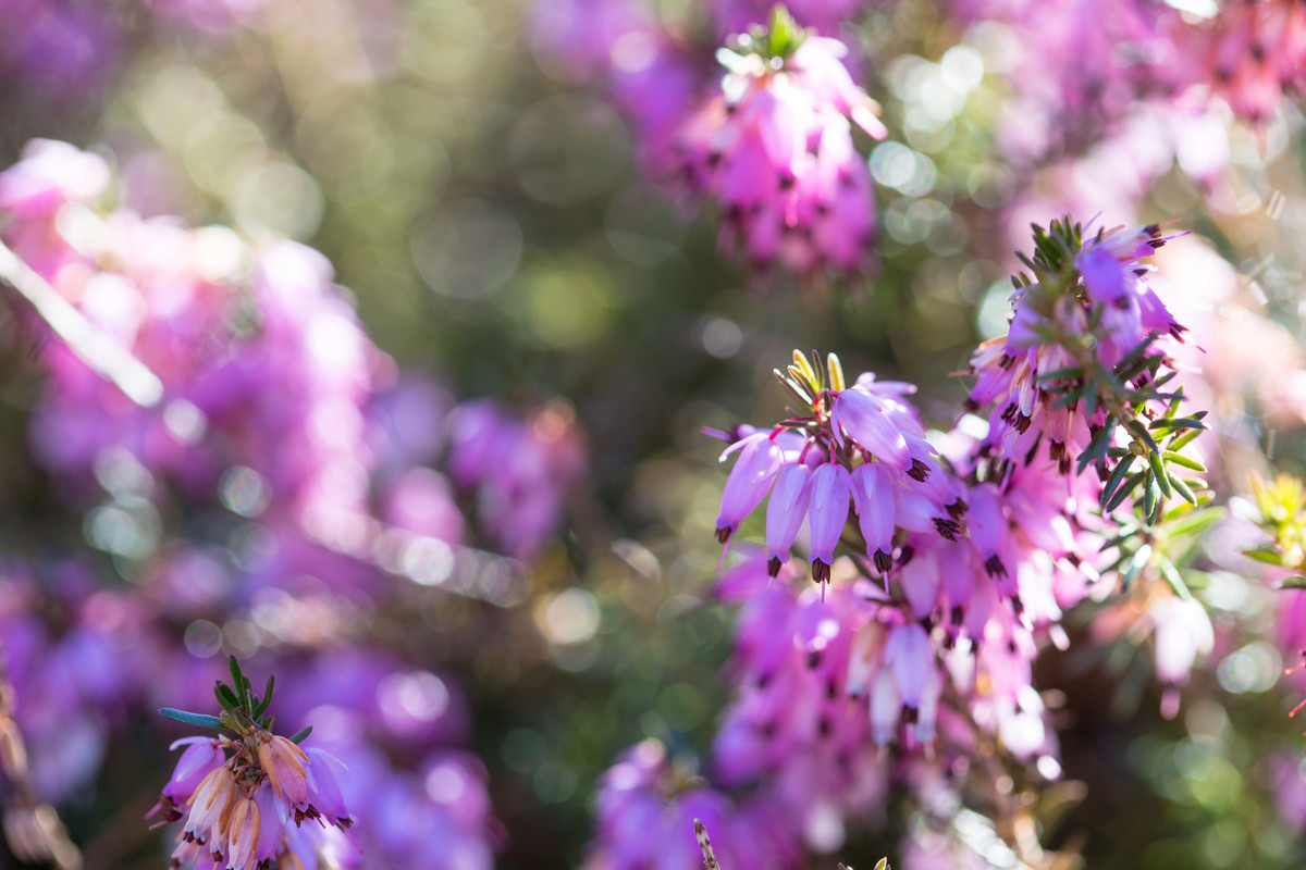 Heath, like Erica x darleyensis 'Furzey, can be used in a winter container; photo by Marlon Co