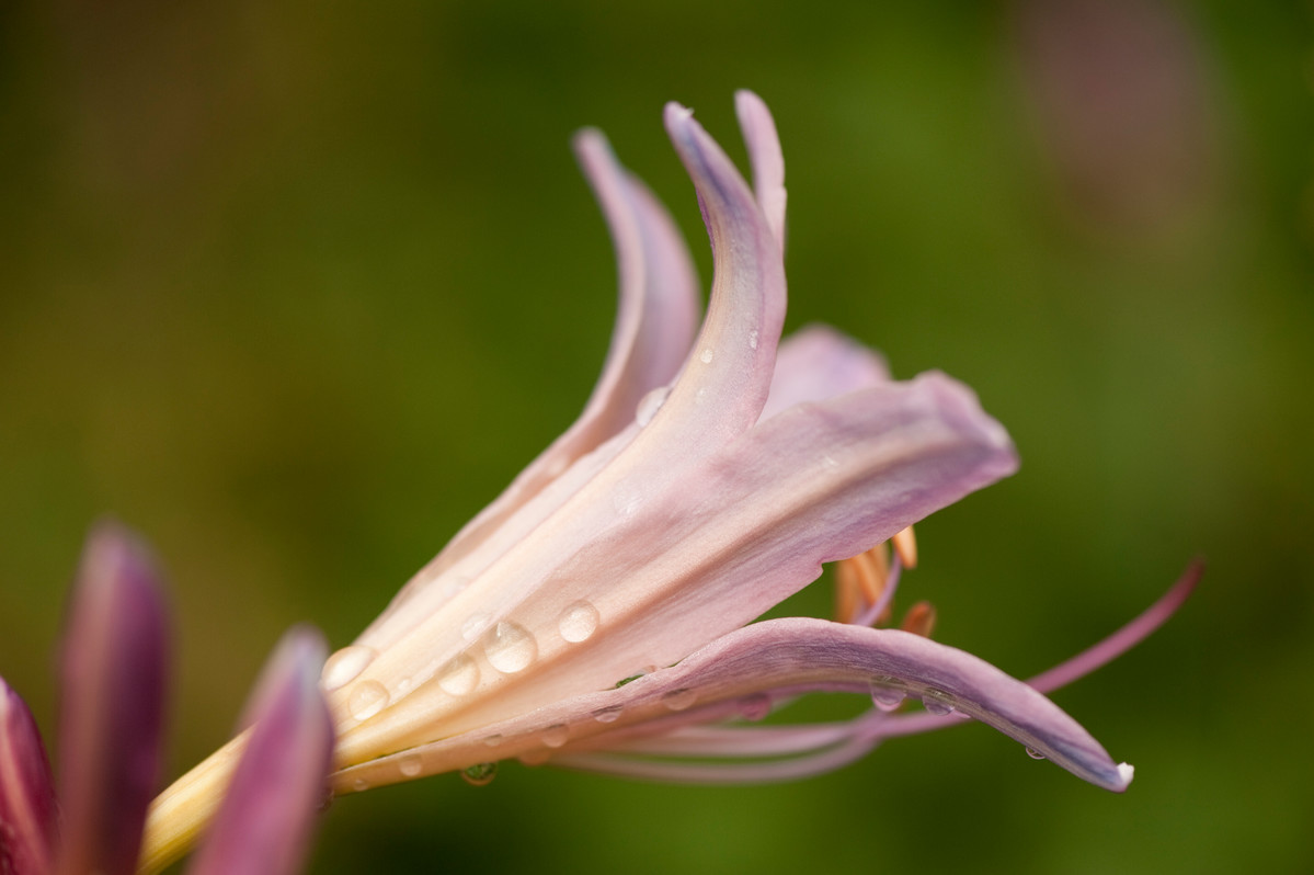 Lycoris squamigera (surprise lily) at NYBG; photo by Ivo Vermeulen