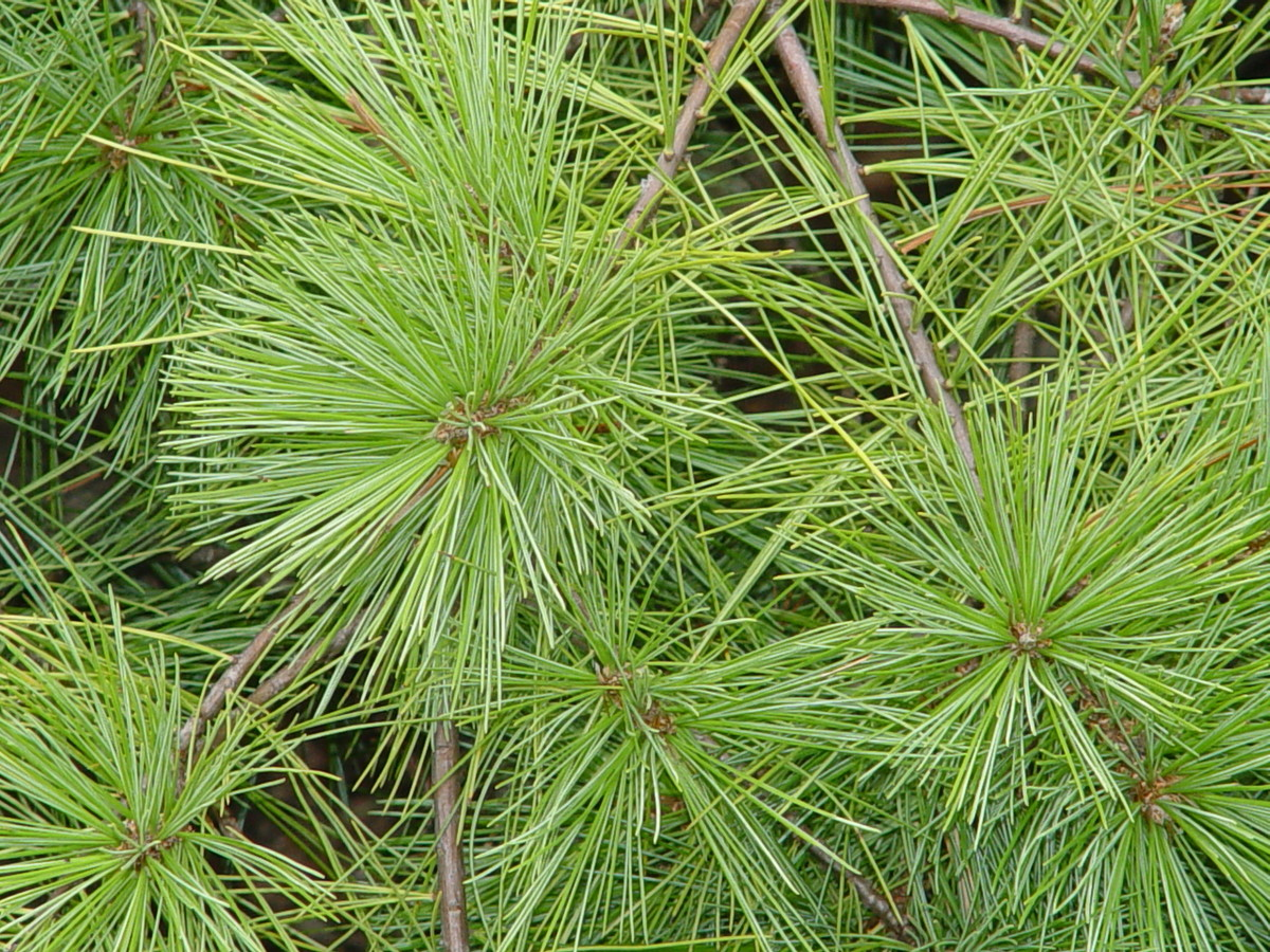 Photo of Pinus strobus 'Shaggy Dog' (Eastern white pine); long soft branches can be hard to hang ornaments from