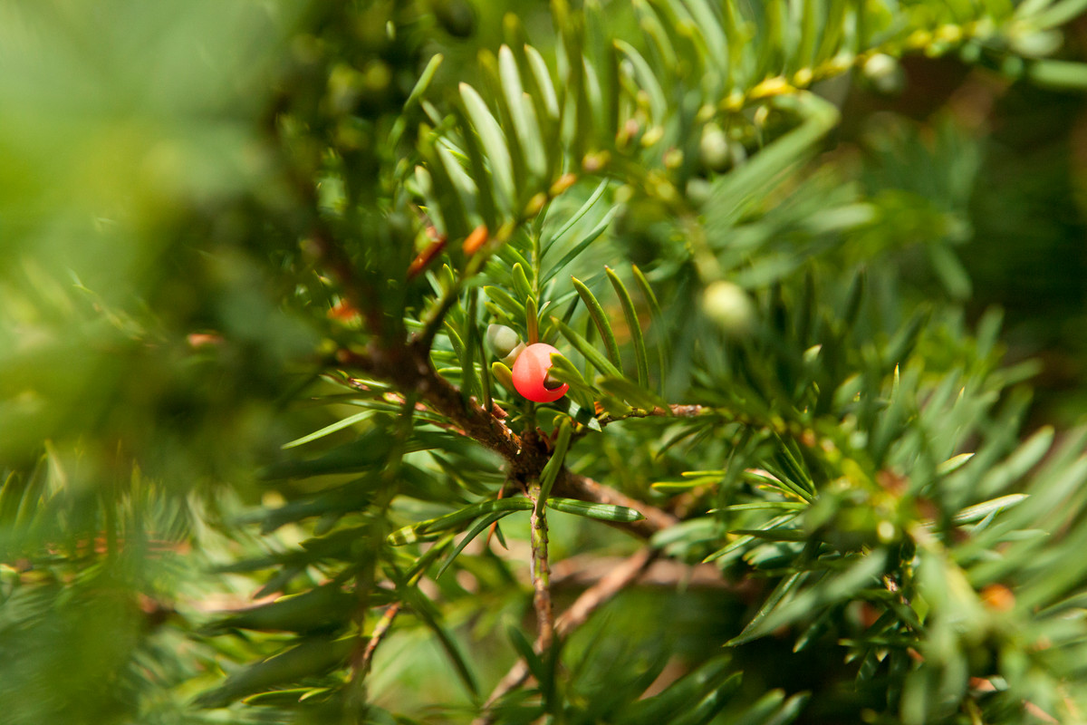 Prune yew (Taxus) hedges in early spring just before growth begins; photo of Taxus baccata by Ivo Vermeulen