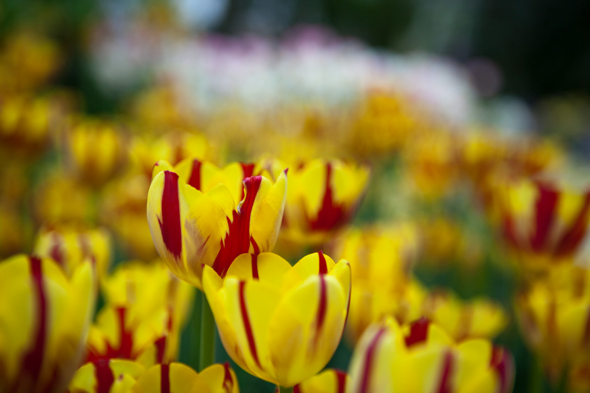 Tulips forced indoors on display at NYBG; photo by Mark Pfeffer