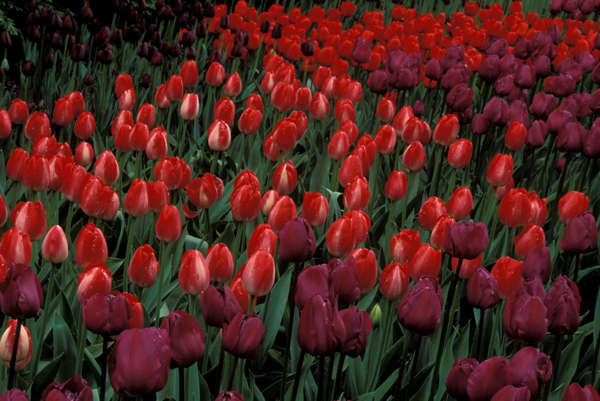 Tulips demonstrate the calming effect of colors near to each other on the color wheel at NYBG