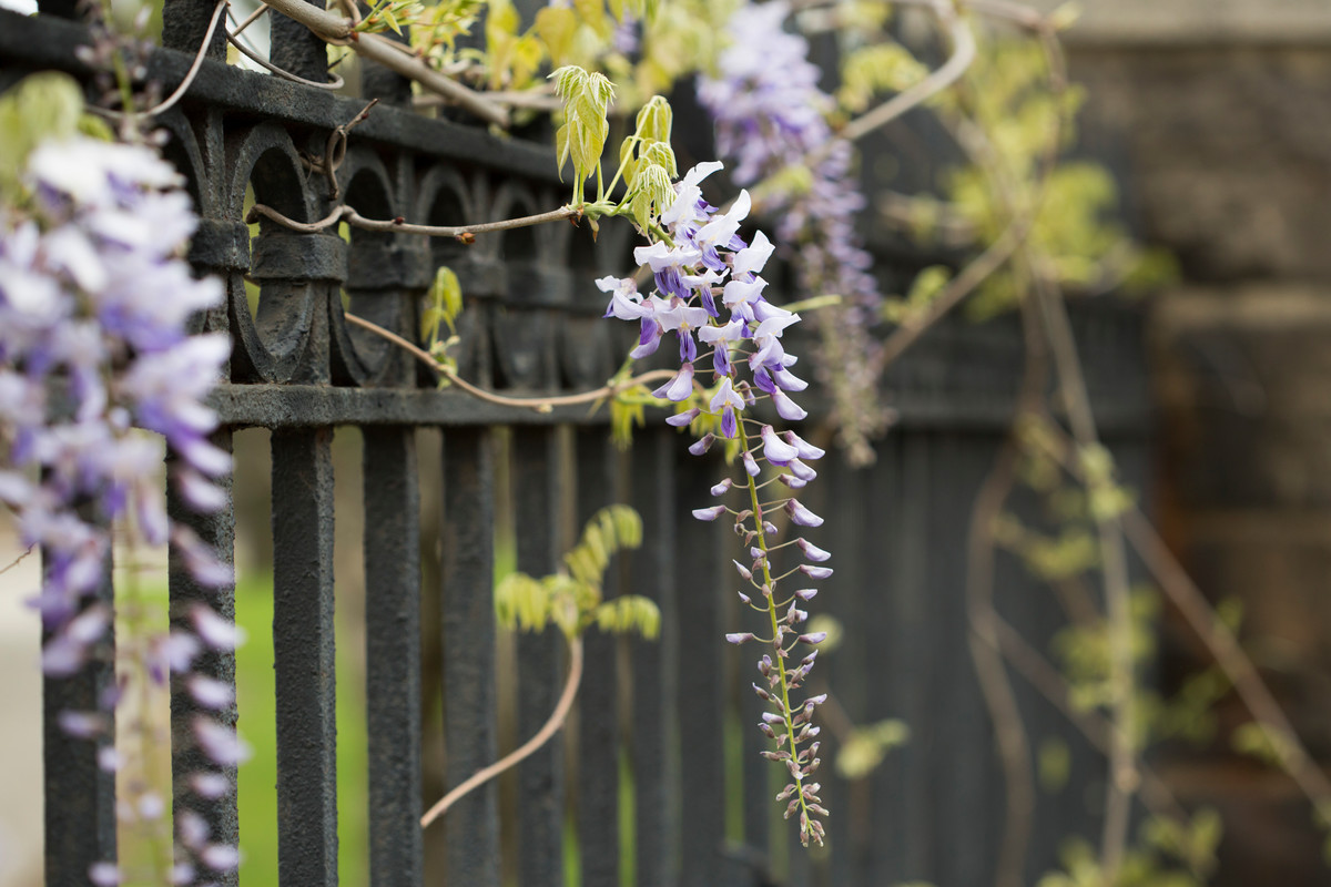 September is the month to root-prune wisteria that does not bloom; photo by Ivo Vermeulen