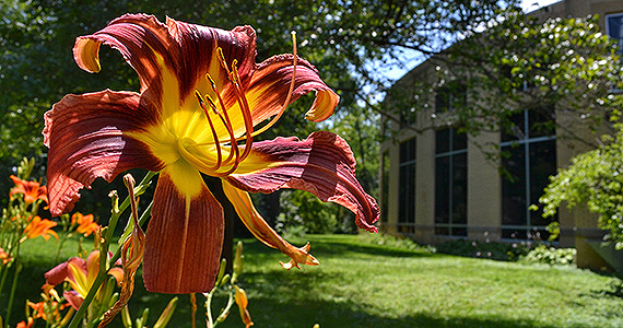 Orange daylily behind the library
