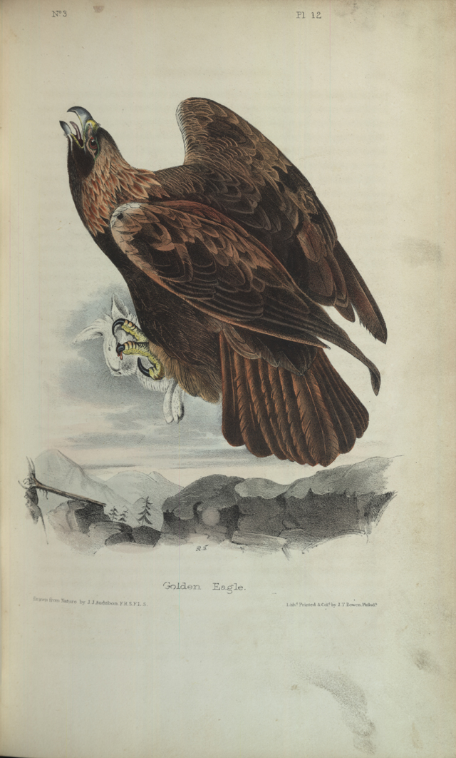 Golden Eagle Photo from  The Birds of America, Vol. 1