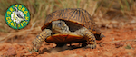 Arizona's Ornate Box Turtle Watch