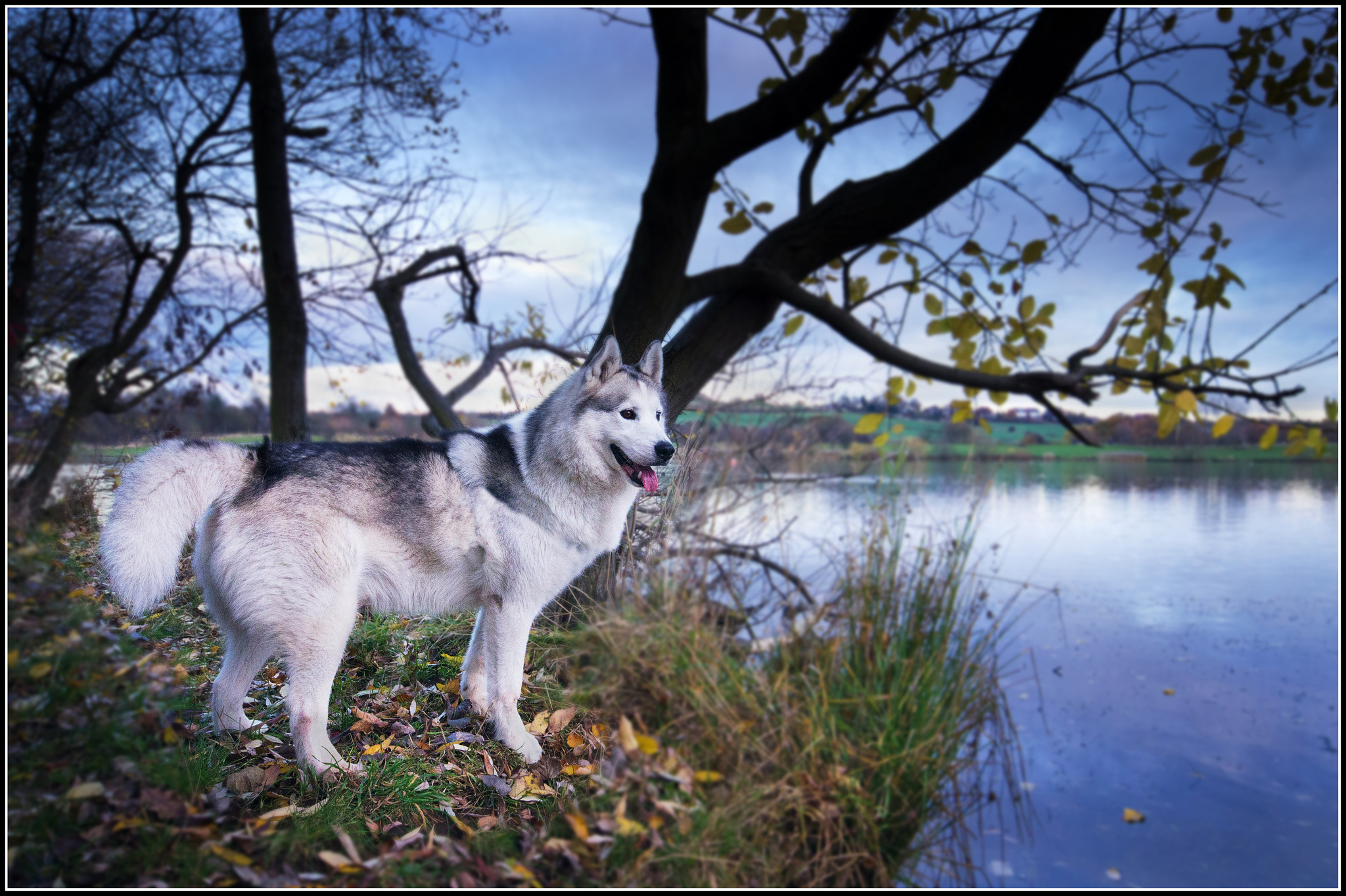 Photo of husky dog with Creative Commons license