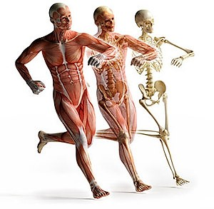 Human muscular, circulatory and skeletal systems