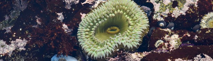 Tide pool with sea anemone