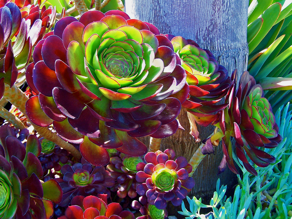 Aeonium arboreum 'Atropurpureum'; photo courtesy of Flickr cc/ Trace Nietert