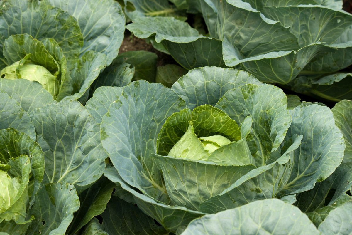 Growers surround their cabbages (Brassica olerica (Capitata Group)) with collards to protect them from moths