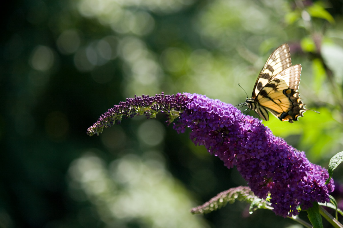 A tiger swallowtail butterfly visits a Buddleja davidii 'Potter's Purple' (butterfly bush), a common nectar source