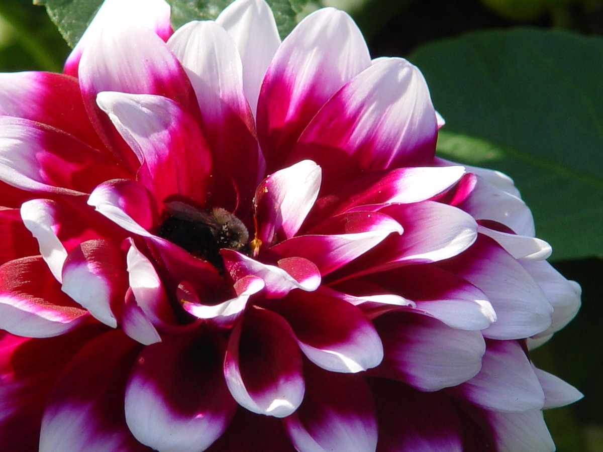 Plant summer-flowering bulbs, like dahlias, after the last frost date