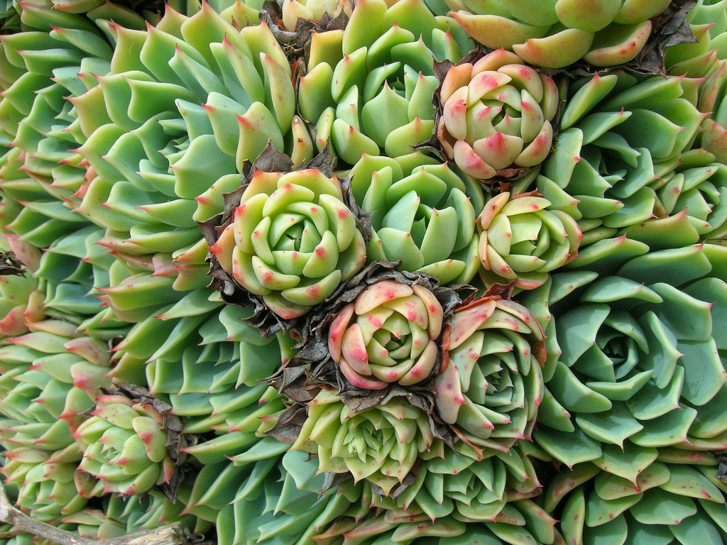 Echeveria crassulacae; photo courtesy of Flickr cc/ Brewbooks