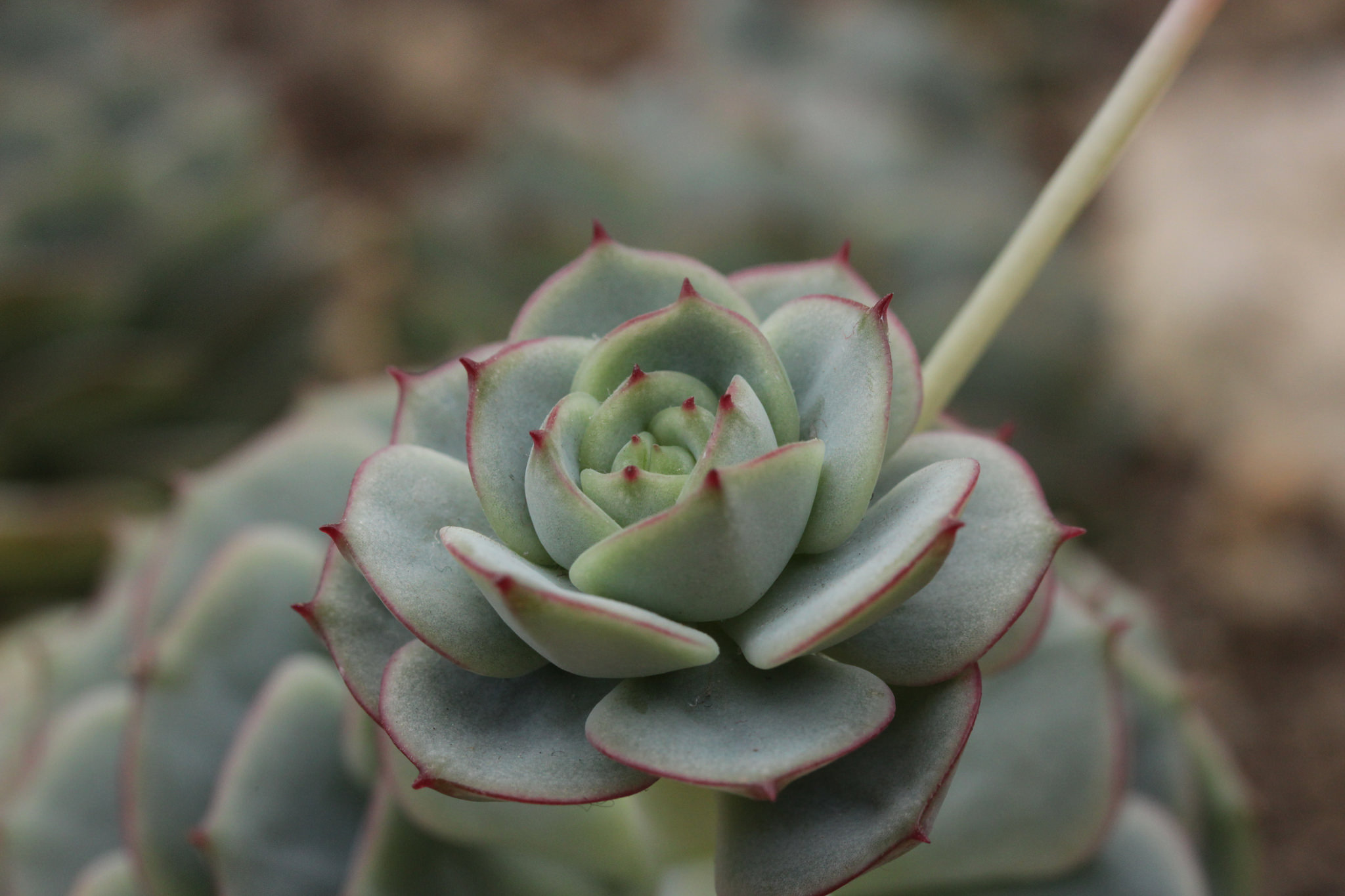 Painted lady echeveria (Echeveria derenbergii); photo courtesy of Flickr cc/Bjorn S.