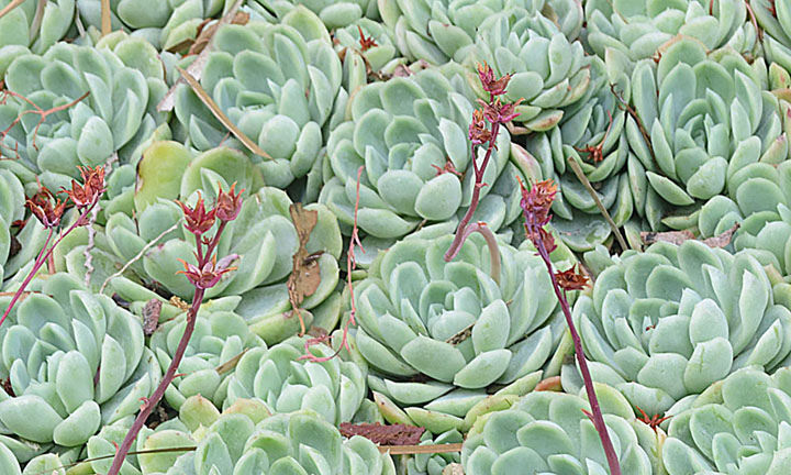 Echeveria elegans photo courtesy of Flickr cc/ Dick Culbert