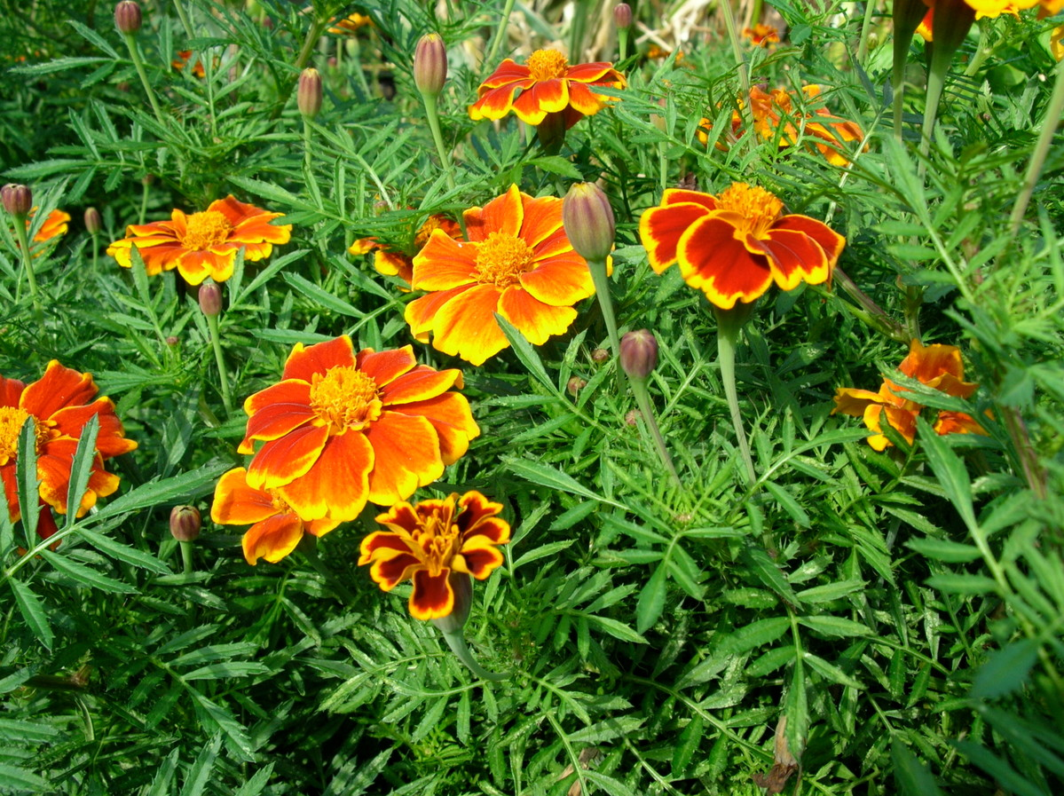 Sow seeds of fast-growing annuals like these marigolds (Tagetes)