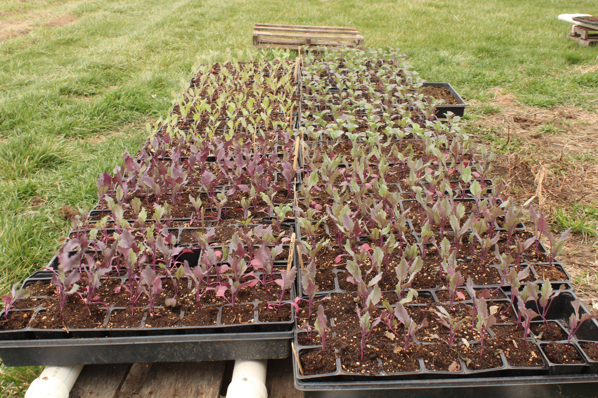 Brassica seedlings being hardened off to acclimate to outdoor conditions; photo courtesy of Flickr cc/ Spraints