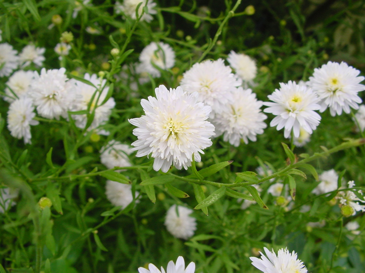 Kalimeris pinnatifida (Japanese aster)