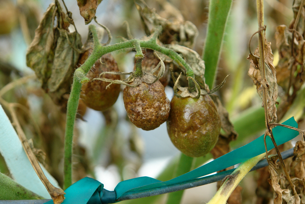 Late blight (Phytophora infestans); photo courtesy of Flickr cc/ Scot Nelson