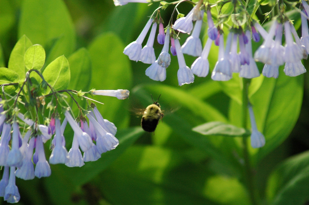Mertensia virginica (Virginia bluebells) are visited by a bee.; photo by Jon Peter