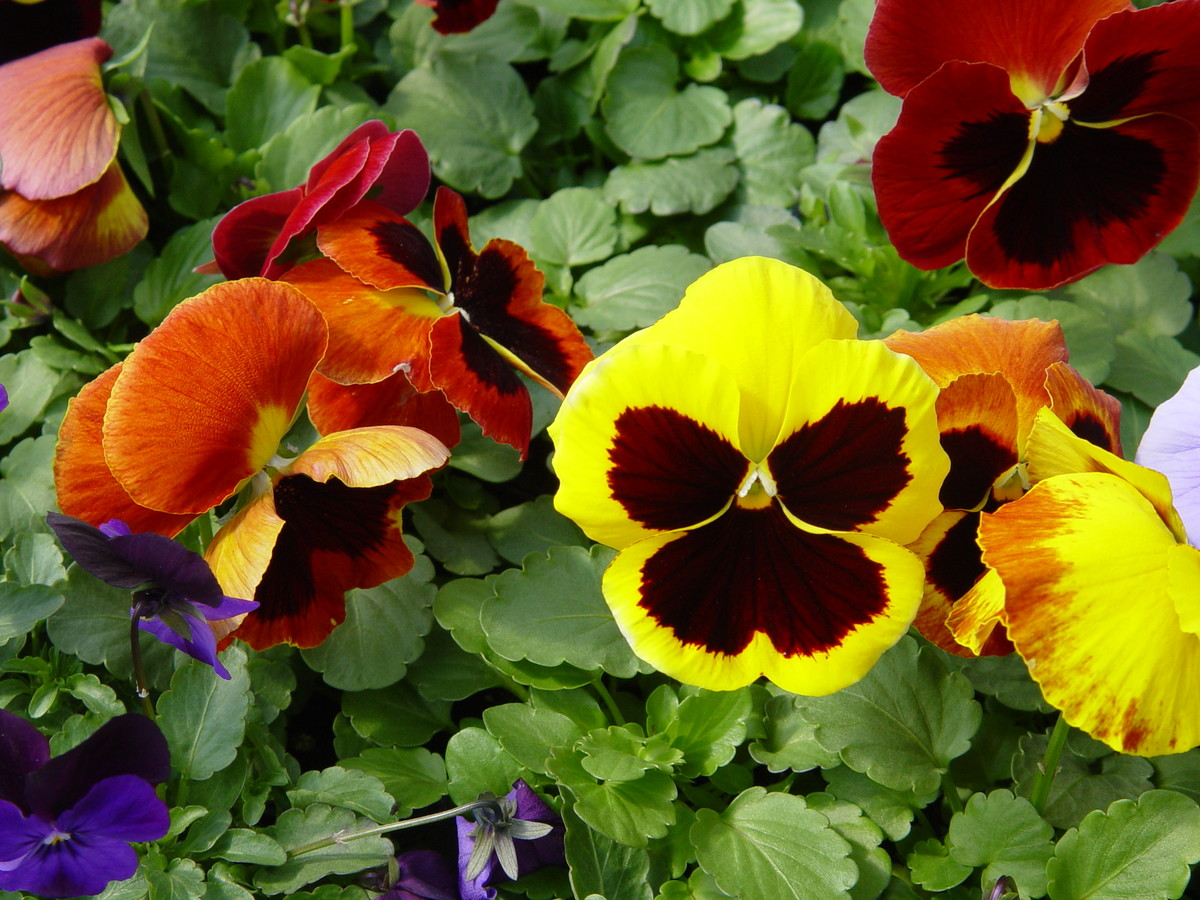 Plant cold-weather annuals, like pansies, early in the spring