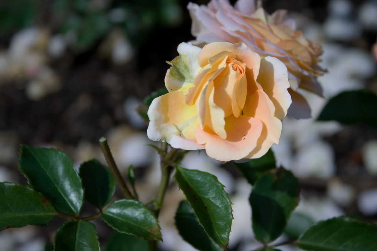 Rosa Floral Fairy Tale is a modern Floribunda rose