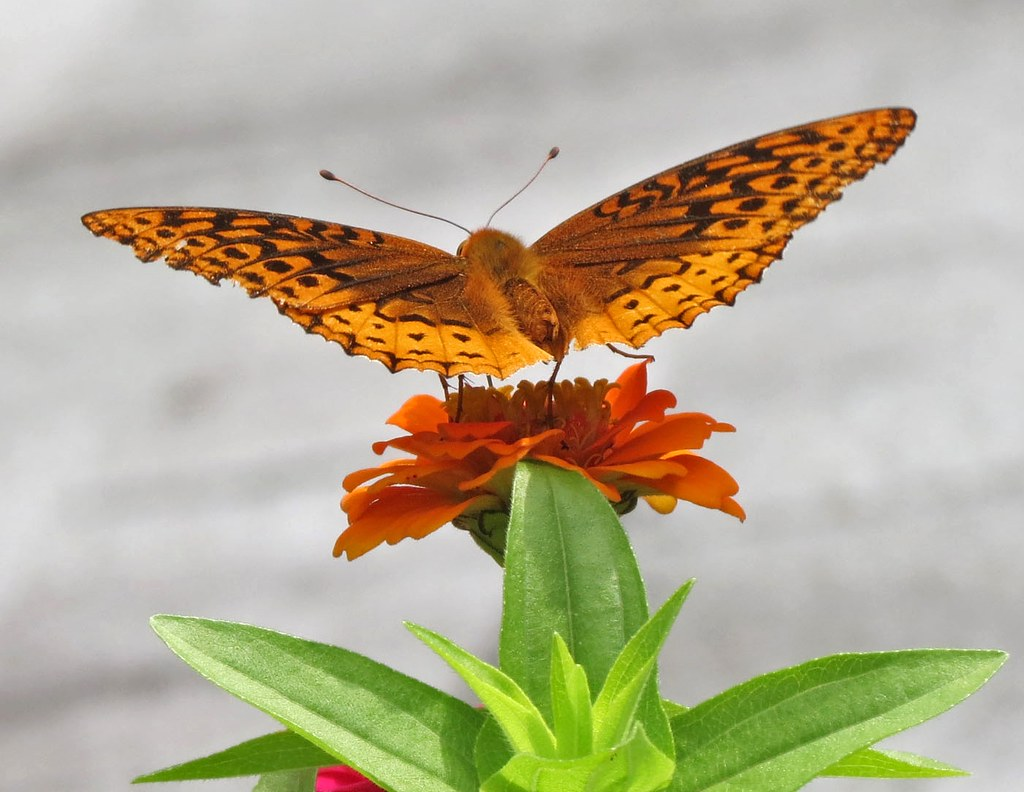 A garden visit from a great spangled fritillary butterfly; photo courtesy of Flickr cc/ James St. John