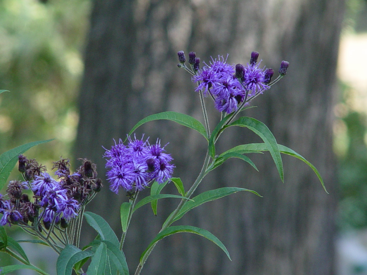 New York ironweed (Vernonia noveboracensis) can be cut back in early summer