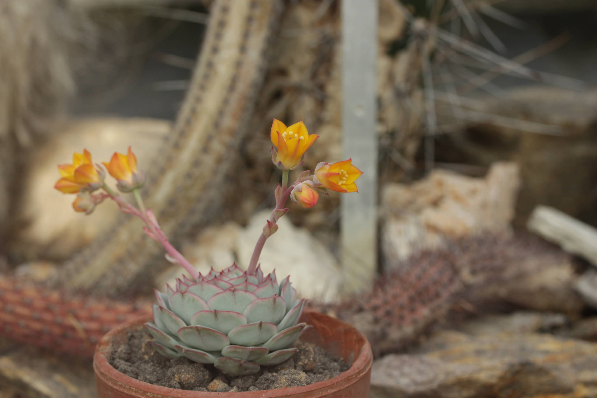 Painted lady echeveria (Echeveria derenbergii) in flower; photo courtesy of Flickr cc/Bjorn S...