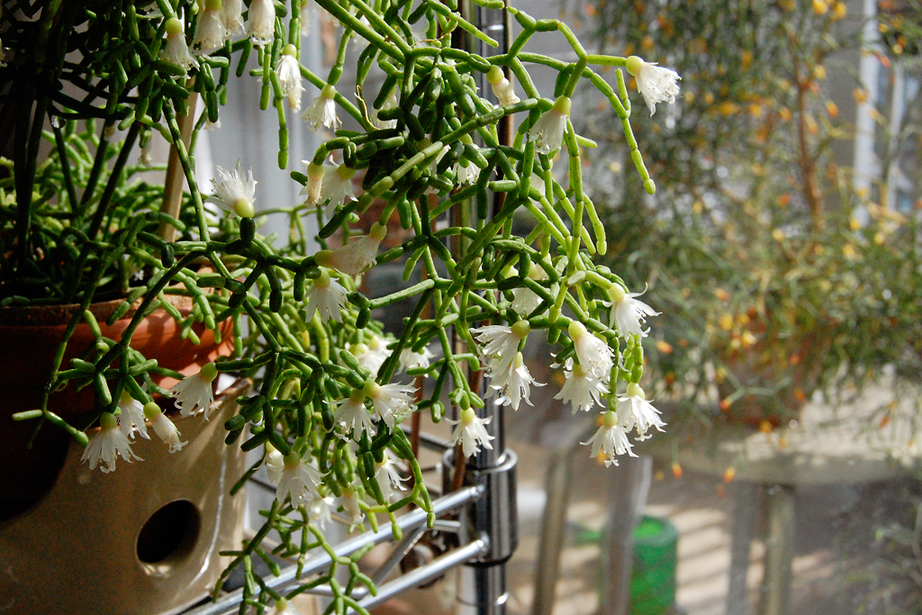 Rhipsalis cereuscula is commonly called coral cactus and produces greenish-white flowers; photo courtesy of Flickr cc/Salchuiwt