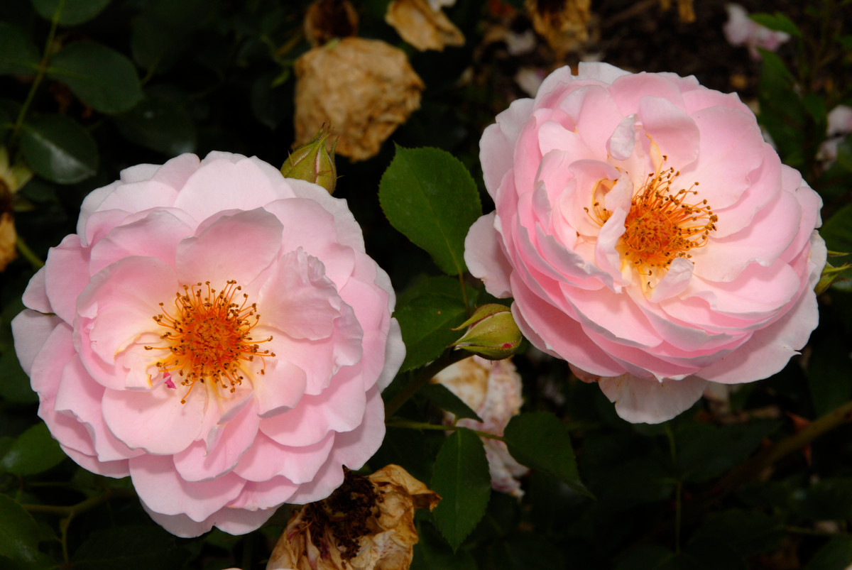 Rosa 'Climbing China Doll' is a modern Polyantha rose
