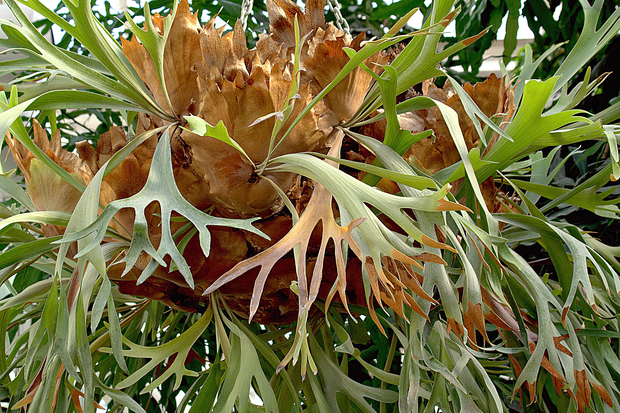 Staghorn fern (Platycerium bifurcatum) photo courtesy of flickr cc/ manuel m. v.