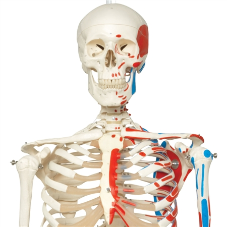 Model of full articulated skeleton